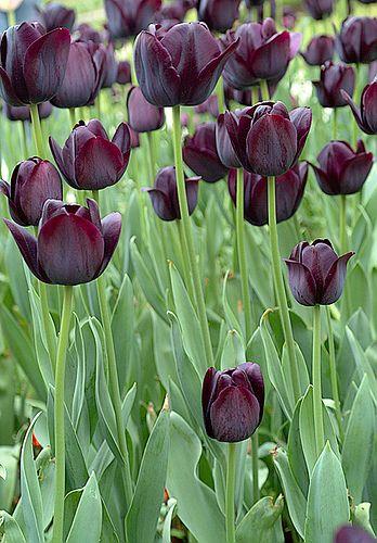 Tulips in Topkapi Gardens by Kristal Images, via Flickr