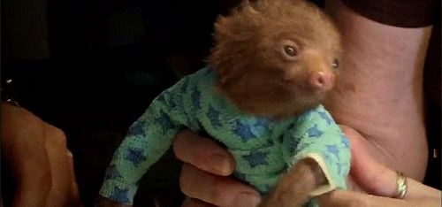 Baby sloth in pjs <3 (GIF)