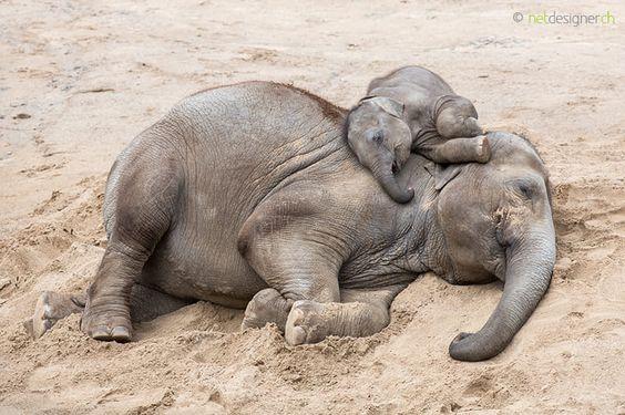 asian elephant calf sleeping on top of his mum