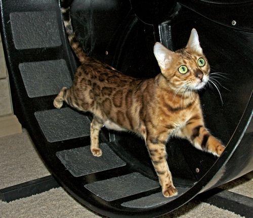 Bengal Kittens Available Bengal Cat Breeder California Bengal