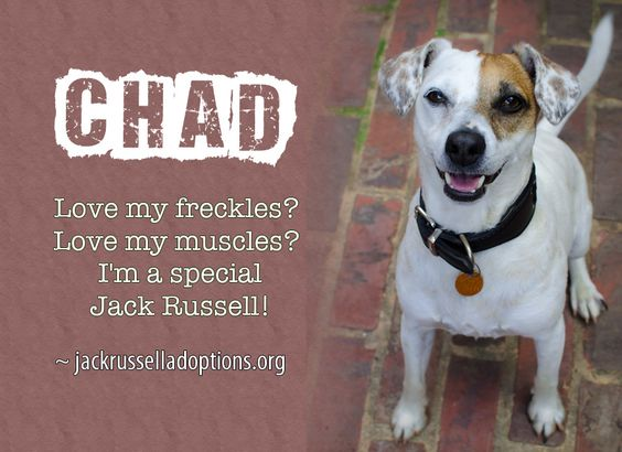 Today's featured Jack Russell rescue for adoption or sponsorship - Chad!: Jack Russells, Jack Bauer, Featured Jack, Russell Terriers, Jack O'Connell, Happy Jacks, Favorit Terrier, Russell Rescue, Bauer Terrier