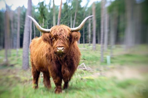 Highland cattle - null