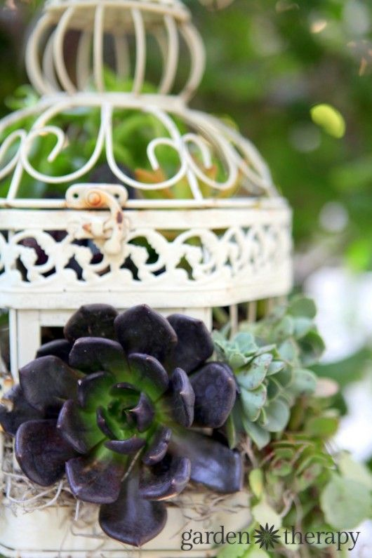 Aeonium and other succulents in a DIY Birdcage Succulent  Planter. Full instructions on how to make and care for this hanging planter in the article. It's easier than I thought it would be!
