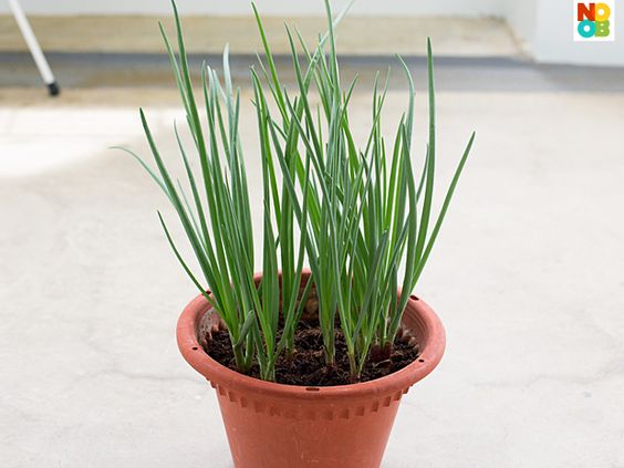 How to Grow Spring Onions ♥