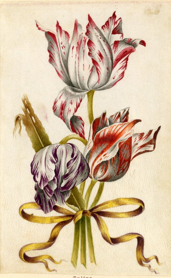 Drawing from an album, white and crimson, white and purple, and white and orange Tulips, tied with yellow ribbon Watercolour over metalpoint, shaded with grey wash, on vellum