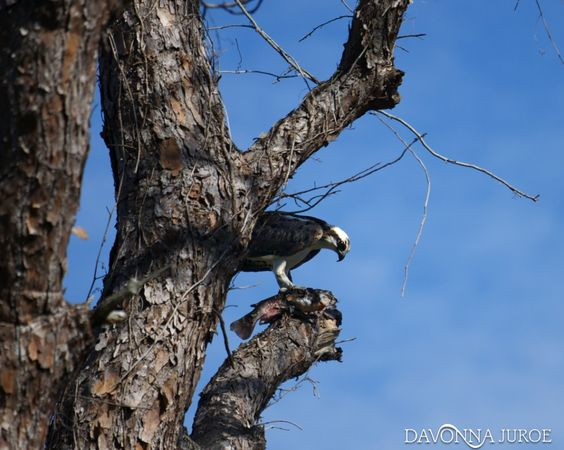 The Wilds of the Boyd Hill Nature Preserve in Photos:  http://www.davonnajuroe.com/snakes-aligators-wilds-boyd-hill-nature-preserve-photos/ #BoydHillNaturePreserve #Osprey