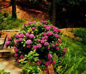 Hydrangea planting/growing tips
