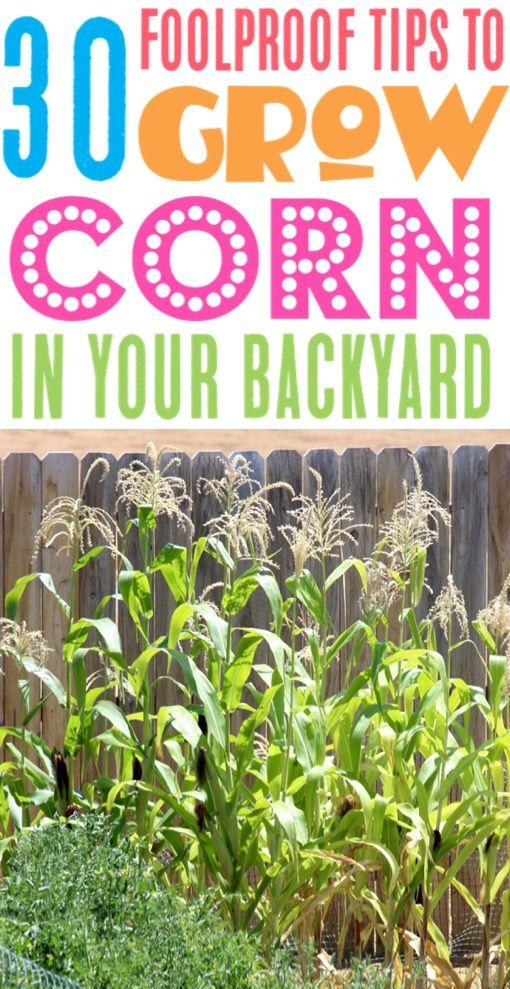 Corn Growing Tips And Garden Ideas