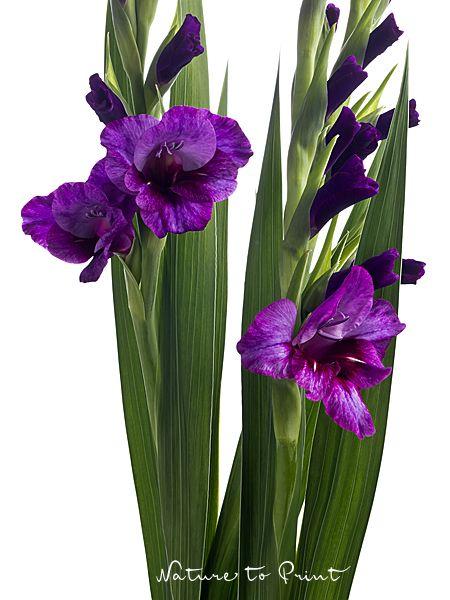 Leinwandbild oder Kunstdruck elegante violette Gladiolen-Blüten im Hochformat und freigestellt auf Weiß.