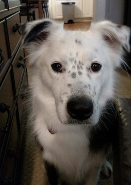 Adopt Maxwell On Border Collie Dogs Border Collie Rescue
