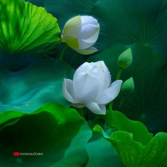 P2: Ảnh hoa sen tuyệt đẹp - Dương Quốc Định | Đoàn Hữu Long: