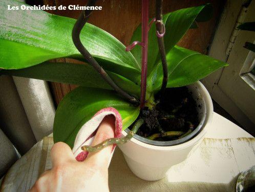 Soins apporter aux orchid es orchid es pinterest for Entretenir une orchidee en pot