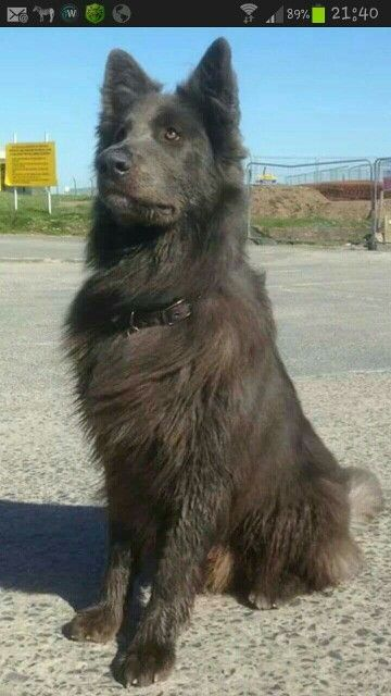 Beautiful long haired gsd