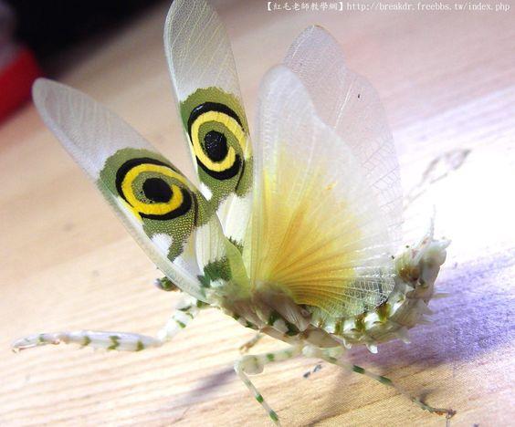 【刺花螳螂】 - 【花螳科】Hymenopodidae - 台灣螳螂研究院 - Powered by Discuz!