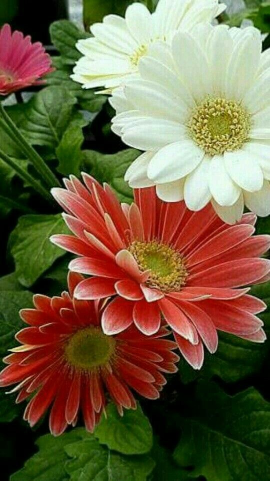 Pin By Ata On Suny Flowers Flowers Nature Gerbera Flower Amazing Flowers