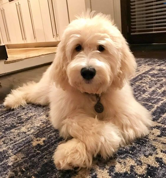 Tucker The English Goldendoodle From Moss Creek Goldendoodles Goldendoodle Puppy English Goldendoodle Goldendoodle