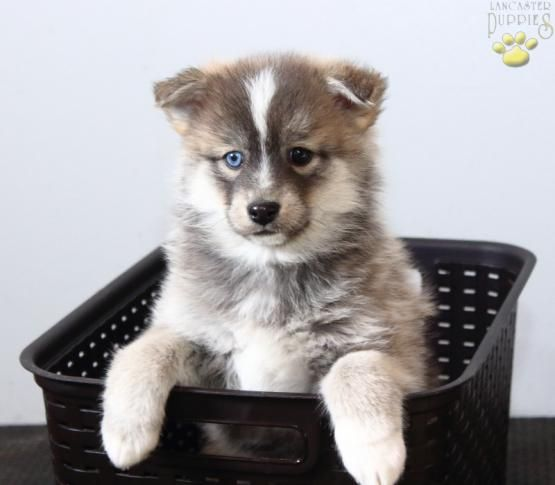 Ryan Pomsky Puppy For Sale In Topeka In Lancaster Puppies