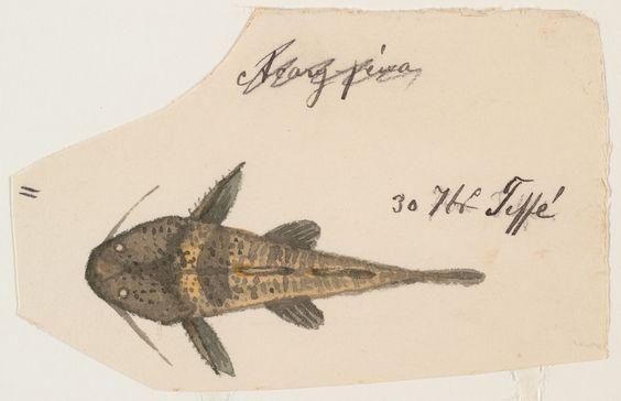 Fish drawing September 30, 1865 Brazil  Ernst Mayr Library