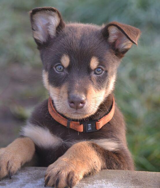 Red Tan Javelin Baby Dogs Australian Dog Breeds Australian Kelpie Dog