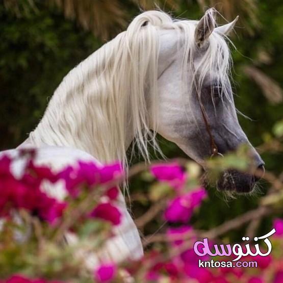 اجمل خيول عربية اصيلة اجمل الخيول العربية الاصيلة في مصر رمزيات خيول رومانسيه Kntosa Com 16 19 156 Horses Animals