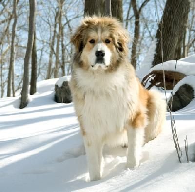 Bernese and Pyrenean Mountain Dog Mix.  Isn't he gorgeous?