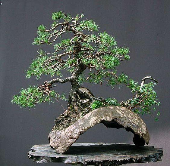 Bonsai bridges and highlights on pinterest for Famous bonsai trees
