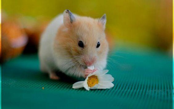 Daisy hamster :) so pretty