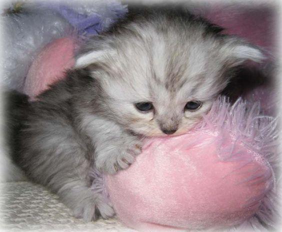 Teacup kitten, Kittens and Napoleon on Pinterest