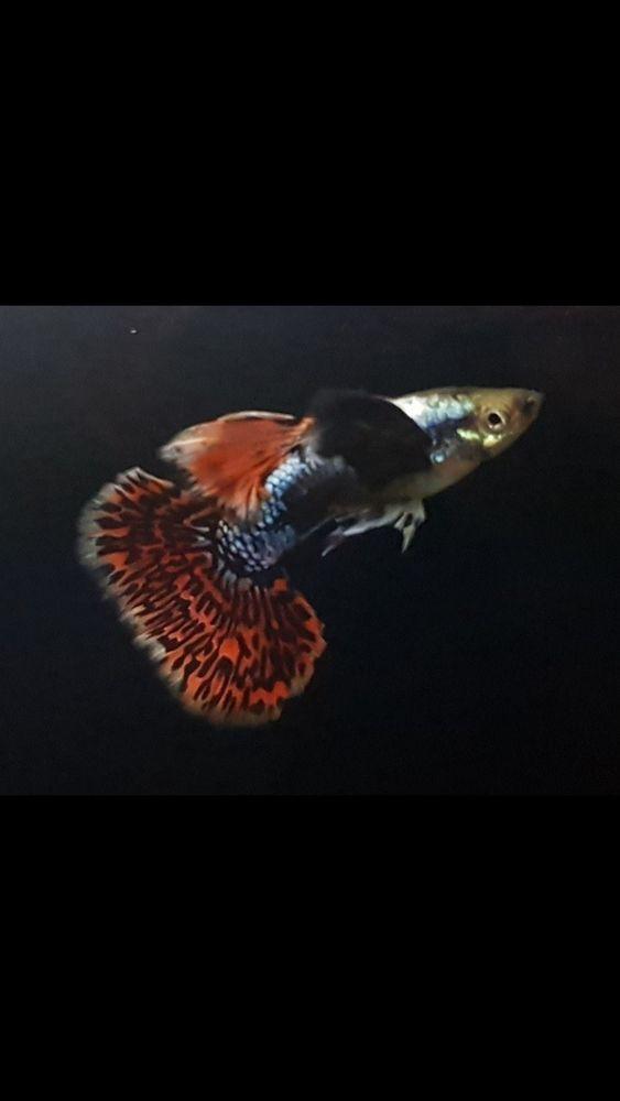Beautiful Mosaic Guppy Pair Usa Guppy Guppy Fish Fish Pet