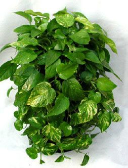 Pothos - Pothos is so easy to grow. The vine can go almost dry before protesting, needs repotting very infrequently (giant vines will thrive in tiny pots for years), and requires very little, if any, fertilizer. It rarely gets a pest or disease, it is easy to propagate, and best of all, it can grow in just about any lighting situation -- from dark corners to bright windowsills.