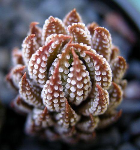 Haworthia reinwardtii var. reinwardtii | Flickr - Photo Sharing!: