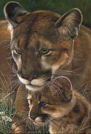 cougar cuidando de sua cria .
