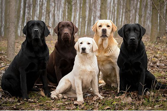 The Labrador Retriever, also known as simply Labrador or Lab, is one of several kinds of retrievers, a type of gun dog. Description from dailyreviewguide.com. I searched for this on bing.com/images