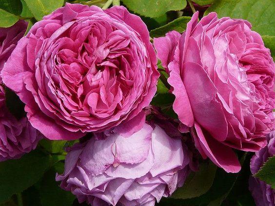 Yolande d'Aragon rose | Rosa 'Yolande d'Aragon' (France, 1843)