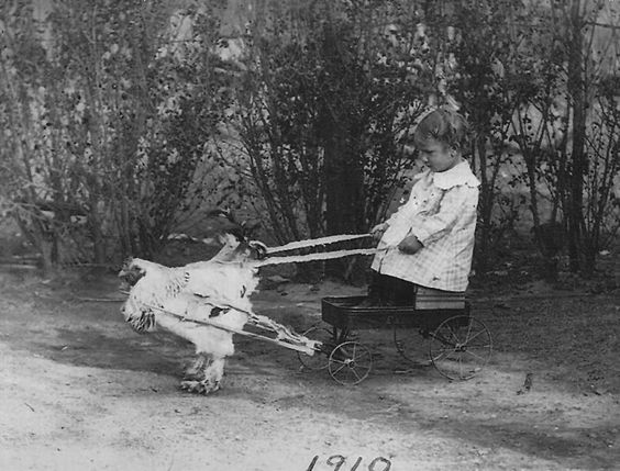 Traces of Texas reader Benjie Bonham sent in this wonderful shot of his grandfather Josh being pulled in his wagon by a Brahma chicken in Joshua, Texas, 1910.: