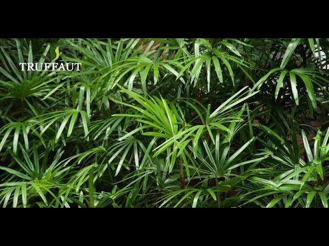 Comment Entretenir Un Kentia Palmier D Interieur Jardinerie Truffaut Tv Youtube Jardinerie Truffaut Palmier Interieur Jardinerie