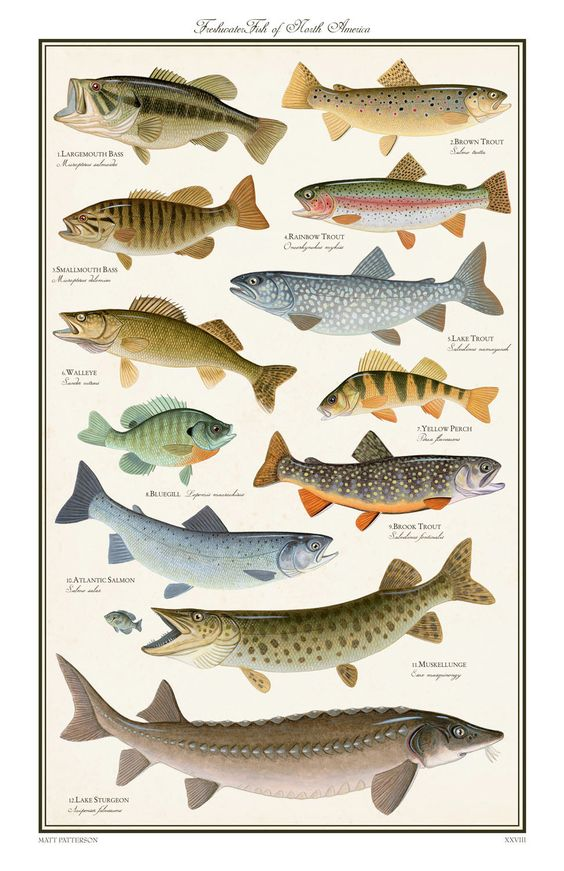 Freshwater fish north america and fish on pinterest for North american freshwater fish