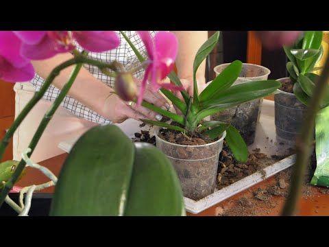 Jak Przesadzic Storczyka Storczyki I Ich Pielegnacja Phalaenopsis Youtube Plants