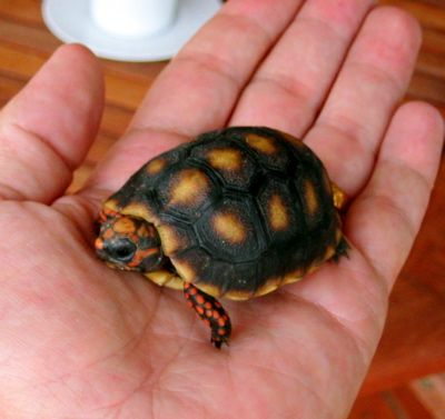 My next baby. A Red Foot Tortoise.