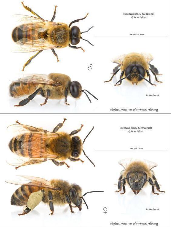 Female Vs Male Honey Bee Male Honey Bee Bee Keeping Bee