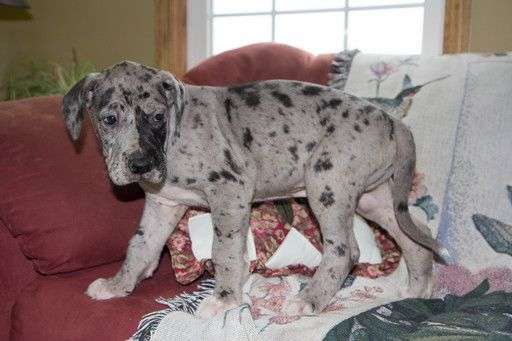 Great Dane Puppy For Sale In Cuyahoga Falls Oh Adn 71057 On