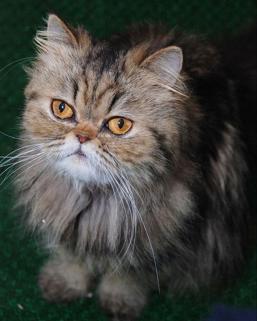 Brown Patch Tabby Persian | FUNNY CATS! I LOVE FUR BABIES ... Tabby Persian