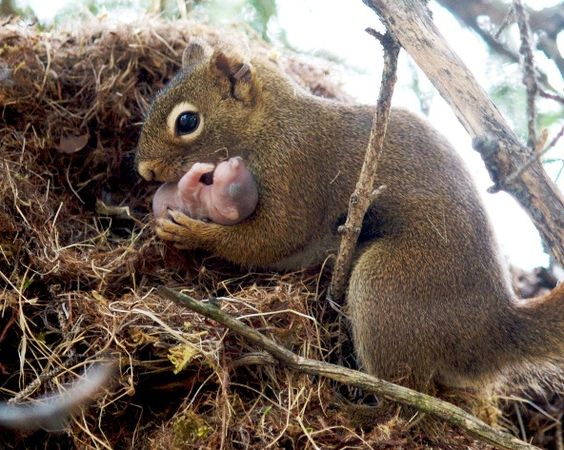 Red squirrel adopts an abandoned infant