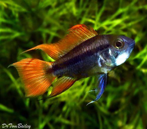 Premium New Apistogramma Cacatuoides Cichlid Orange Flash 1 To 1 2 Aquarium Fish Tropical Fish Tropical Fish Aquarium