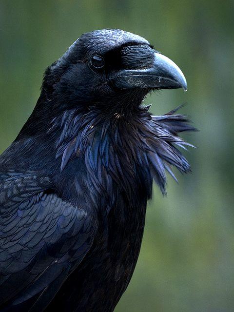 Bellas Aves De El Salvador Corvus Corax Cuervo Comun Residente