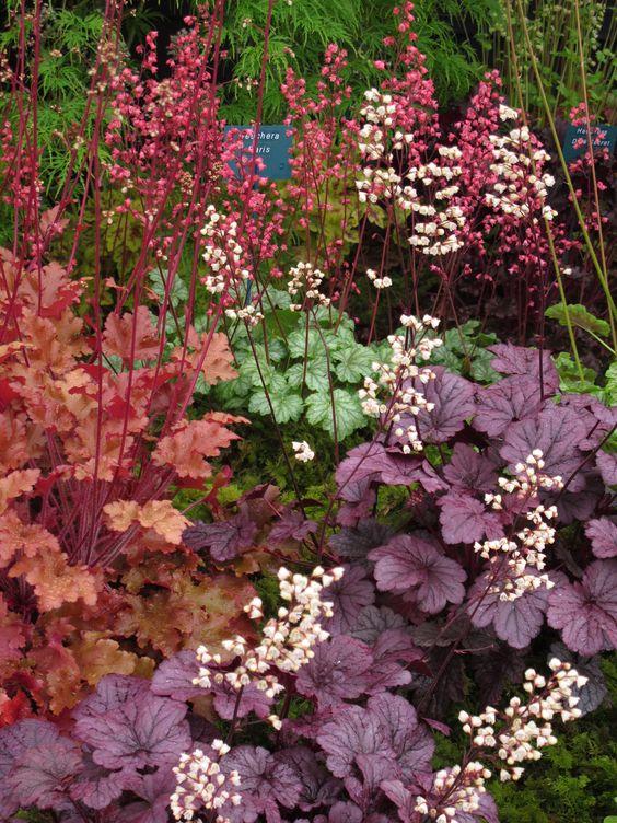 Heuchera, diverse kleuren / soorten, het blad is sierlijk hartvormig, mooi in strakke vakken of in pot