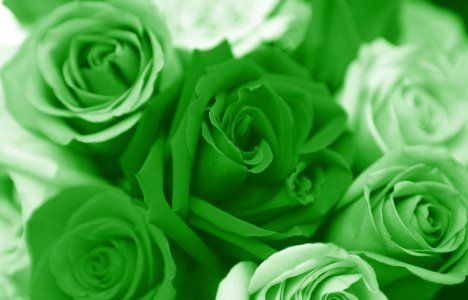 Green Roses - Green is not a colour is a state of mind!
