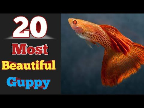20 Most Beautiful Guppy Ever In The World Youtube