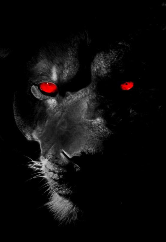 Framed Print Black Lion With Red Eyes Animal Picture Panther Tiger Big Cat Red Eyes Black Lion Panther Pictures