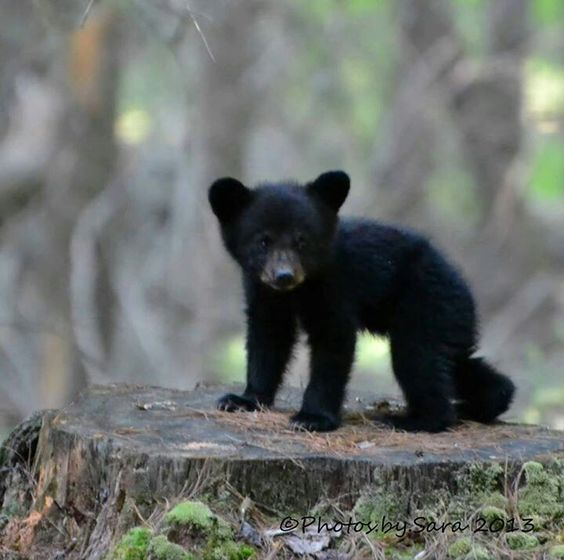 Baby black bear | God's creatures | Pinterest | Black Bear ... - photo#16